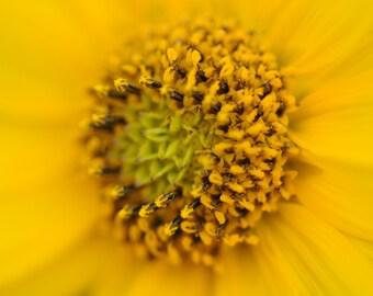 Joplin Sunflower. Fine Art Photography. Yellow. Detail. Flower.