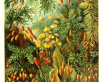 Ernst Haeckel Moss print, digital download, printable collage sheet no. 1678