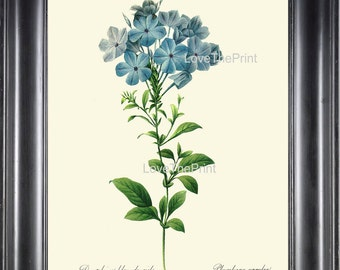 Botanical Print R56 Wall Art Beautiful Blue Plumbago Flower Antique Garden Illustration Home Room Wall Decor to Frame Nature Decoration
