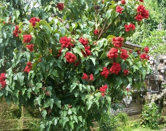 Lipstick Tree Seeds (Bixa orellana)  15+Seeds