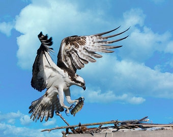 Osprey Image, Osprey Portrait, Raptor Photo's, Nature Photography, Bird Images