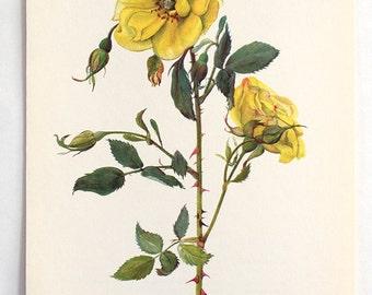 Vintage Botanical Flower Print - Bookplate Plant  Illustration - Yellow Rose Full Blossoms