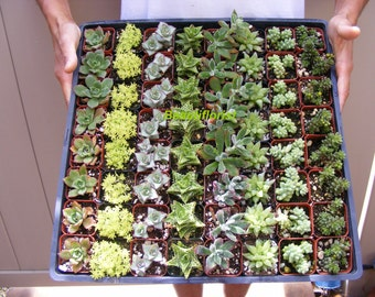 200 Assorted Succulent Plants 2 inch pot !! Great for wedding party favors