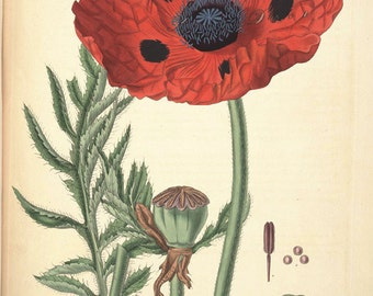 red poppy botanical print, a vintage printable digital image, no. 1627