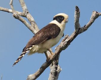 Framed Laughing Falcon