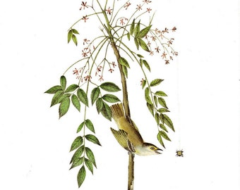 White Eyed Vireo or Greenlet Audubon Book Plate to Frame or for Collage, Scrapbooking, Paper Arts, Assemblage and MORE PSS 1182