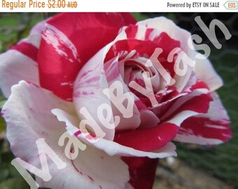 Half Price Sale Red and White Rose, digital photo, nature photo, Flower Photo