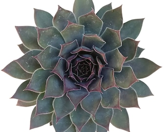 Grape Tone Sempervivum Hen and Chicks Succulent Dark Rosettes Sempervivum Species Succulent Black Growing Succulent
