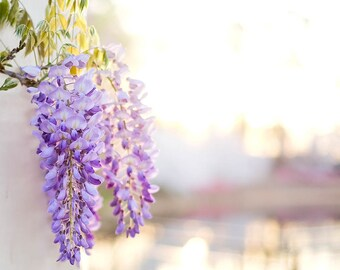 Wisteria Photography Botanical Print Purple Floral Print Spring Photography