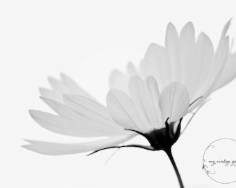 Cosmos in my garden-flower photography -flower photo- cottage garden photography -  Original fine art photography prints - FREE Shipping