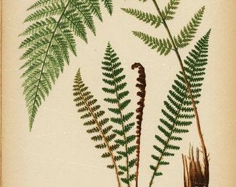 Antique Original Alpine Beech fern fragran wood fern  Print From Beautiful Ferns Of America 1886