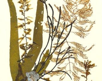 Botanical art, Seaweed art, Original natural seaweed artwork MADE TO ORDER,  Brown Algae Collage Marine victorian style Botanical Art 8x10