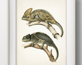 Brown and Gray Chameleon Lizards - RE-02 - Fine art print of a vintage natural history antique illustration. 8x10 11x14 12x18 13x19