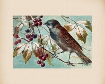 Bird With Berries New 4x6 Vintage Image Photo Print FN04
