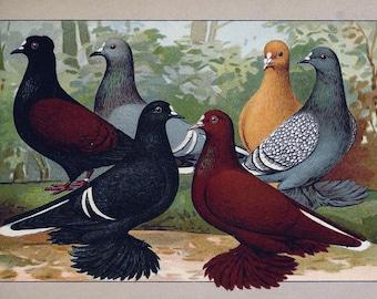 Pigeon bird prints antique 1910 25 printable jpegs