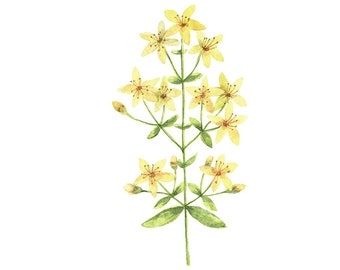 St Johns Wort Flower Original Watercolour Painting 10