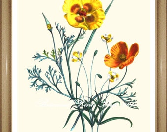 "Botanical Print. California Poppy. Poppy #5. Flower Print.  Flower Wall Art.  Poppies Print. 5x7"" 8x10"""