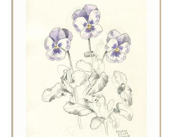 Pansies PRINT - pansy flowers pencil drawing - delicate pencil and watercolor drawing of pansies - floral print wall art by Catalina