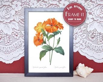 "Picture illustration of Lychnis - framed fine art print, flowers art, 8""x10"" ; 11""x14"", FREE SHIPPING 139"
