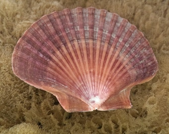 Mexican Flat Scallop Shell