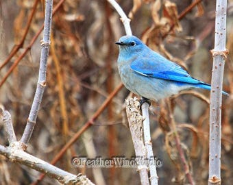 Mountain Bluebird Photo | Bird Art Decor | Blue Gray Songbird | Thrush Photography Home Office Pic | Western Wildlife Home Decor Bird Print