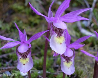 Fairy Slipper Family, Calypso Orchid, Tiny Wild Forest Flower, Montana Orchids, Photograph or Greeting Card