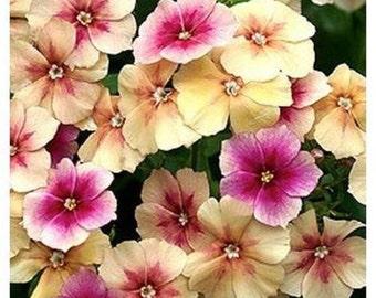 Cherry Caramel Phlox Flower Seeds / Annual  30+