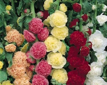 Hollyhock Carnival Mix Flower Seeds (Alcea Rosea) 50+Seeds