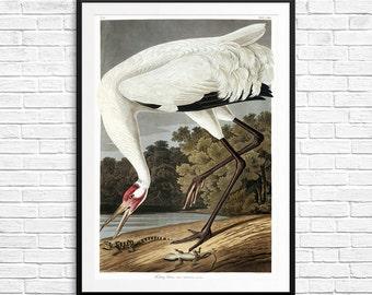 Whooping crane, whooping cranes, Hooping crane, Audubon crane, Audubon prints, Audubon posters, Audubon birds, whooping crane art, crane art