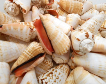"12 Strawberry Strombus Shells Seashells 2"" Beautiful Beach Wedding Crafts Decor"