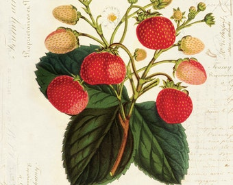 Vintage Botanical Strawberry Plant on French Ephemera Print 8x10 P35