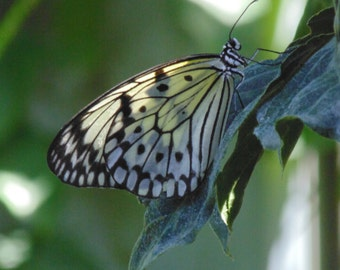 Butterfly Photo   Digital Download