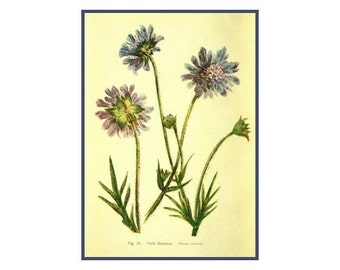 Wildflower Wild Field Scabious Art Cottage Chic Decor Purple Violet Lilac Blue Plant Flower Herb Print Vintage Botanical Illustration