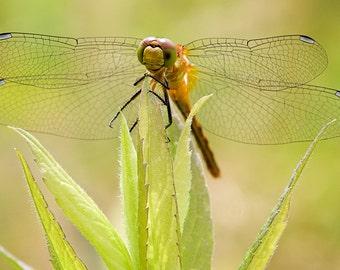 Meadow Hawk Dragonfly Photograph