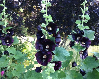 Black Hollyhock Seeds, Alcea rosea nigra, Heirloom Flower Seeds, Old Fashioned Hollyhocks, Great for Cottage Gardens and Cut Flowers