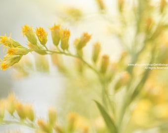 Dreamy Goldenrod In Summer Sunshine -Fine Art Botanical Canvas Gallery Wrap -Green & Yellow -Home Decor Wall Art