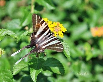 Zebra Swallowtail Butterfly Photo, Butterfly Photo Print, Zebra Swallowtail Color Print, Butterfly Photography