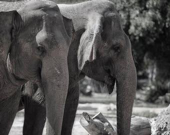 Elephants close up black and white print