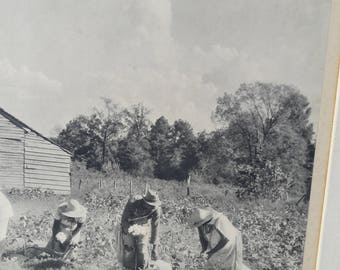 Slaves picking cotton in the fields. Vintage black and white picture. '54 by J J . Armstrong Roberto.