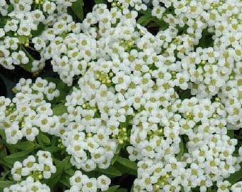 100 Seeds Alyssum Wonderland White Ground Cover