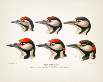 Pied Woodpecker - 8x10 - Fine art print of a vintage natural history antique illustration