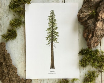 Redwood Tree - Print A4