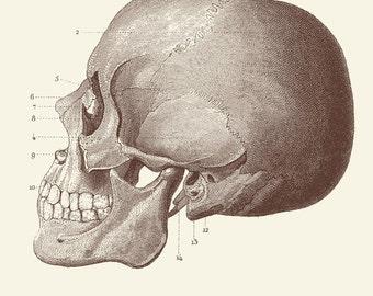 """Vintage Human Anatomy, Skull, """"L'anatomie Humaine"""" Print 8x10 P303"""