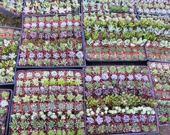 100 Assorted Succulent Plants 2 inch pot !! Great for wedding party favors