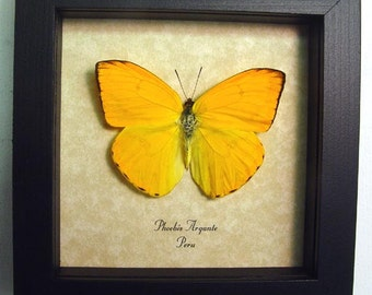 Dad's & Grad's Gift Beautiful Orange Sulpher Butterfly Conservation Display 272