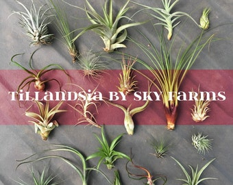 60 assorted Tillandsia air plants - FREE SHIP treasury wholesale bulk lot collection