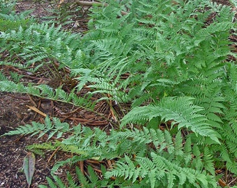 25 Leather wood fern bare roots