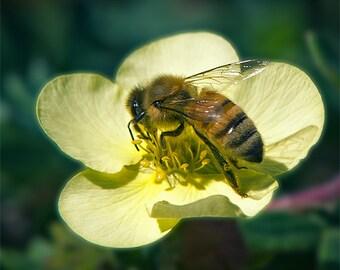 Honey Bee Image, Nature Photo, 5x7 to 13x19,