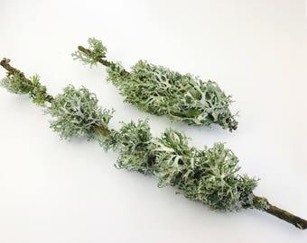 Lichen, Moss, moss, terrarium, terrarium kit, branch with lichen, wood, fall decoration