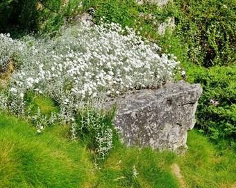 Cerastium Tomentosum Snow in Summer 250 Seeds